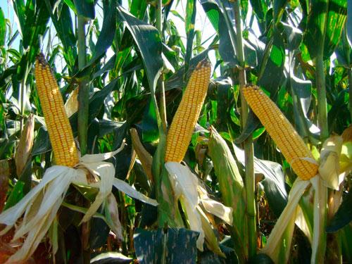 Productores de maíz están cosechando para silo de ganado, debido a que es más rentable.