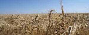 El Gobierno Nacional promueve la siembra de cereales. Archivo/EL PILÓN