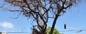 Valledupar cuenta con unos 170.000 árboles, por lo menos el 30 % de ellos tienen problemas fitosanitarios. EL PILÓN / Joaquín Ramírez.