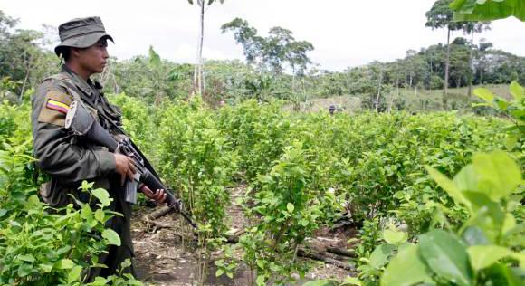 Cultivos de coca aumentaron un 50% en Colombia: ONU