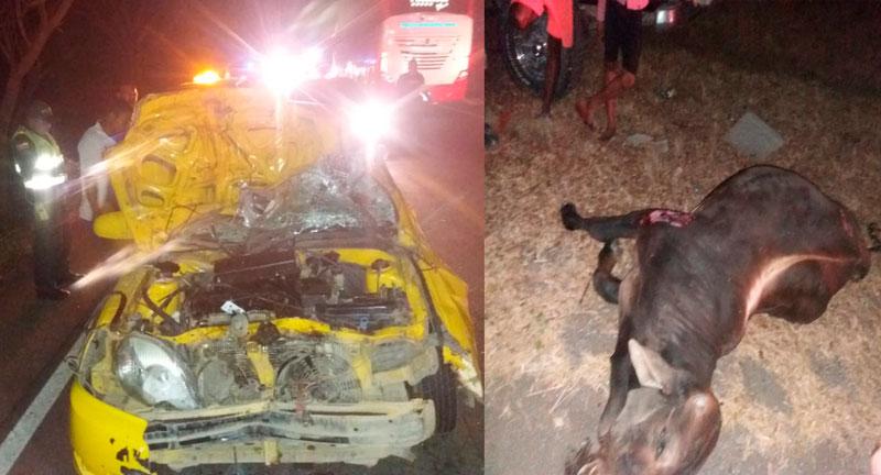 Así quedó el taxi y esta fue una de las vacas que chocó con el carro.