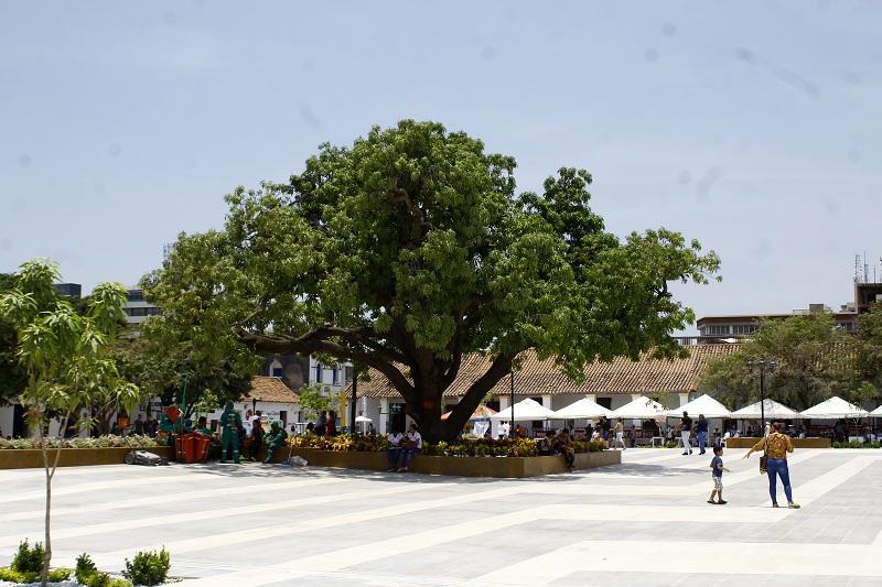 El emblemático palo de mango de la plaza Alfonso López tiene su radiografía del estado de las raíces y del tronco gracias al Tree Radar implementado por un arborista uruguayo.  Foto: Joaquín Ramírez.