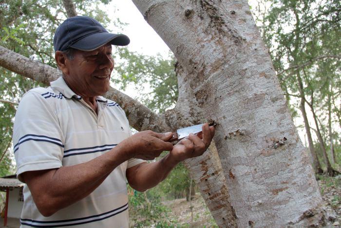 El Viernes Santo se espera que al mediodía broten las higas para arrancarlas de árboles y convertirlas en los dijes de las aseguranzas o amuletos.   Foto REFERENCIA EL UNIVERSAL DE CARTAGENA.
