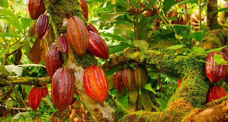 El cacao es uno de los productos más apetecidos en el mercado, el cual sigue creciendo en el Cesar.