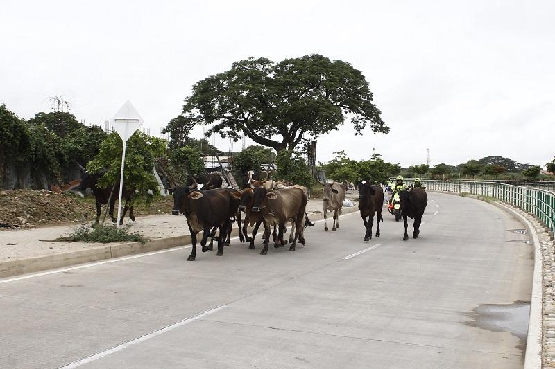 En algunas zonas ya se ha vuelto una constante el paso de estos animales sin ningún control por parte de sus propietarios.   FOTO: JOAQUÍN RAMÍREZ