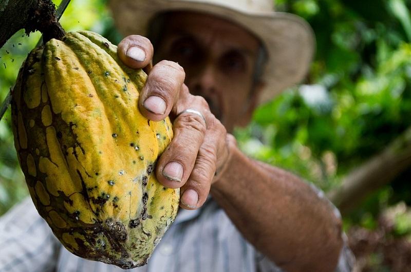 La preferencia de los consumidores de cacao cultivado de manera responsable ha crecido porque la preocupación por la sostenibilidad es cada vez más importante en el mercado, según informes del Ministerio de Industria y Comercio.  FOTO: CORTESÍA