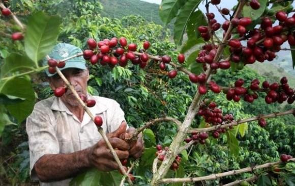 A nivel nacional, en agosto la cosecha cafetera retrocedió levemente de 1,3 millones a 1,1 millones de sacos.   FOTO: CORTESÍA