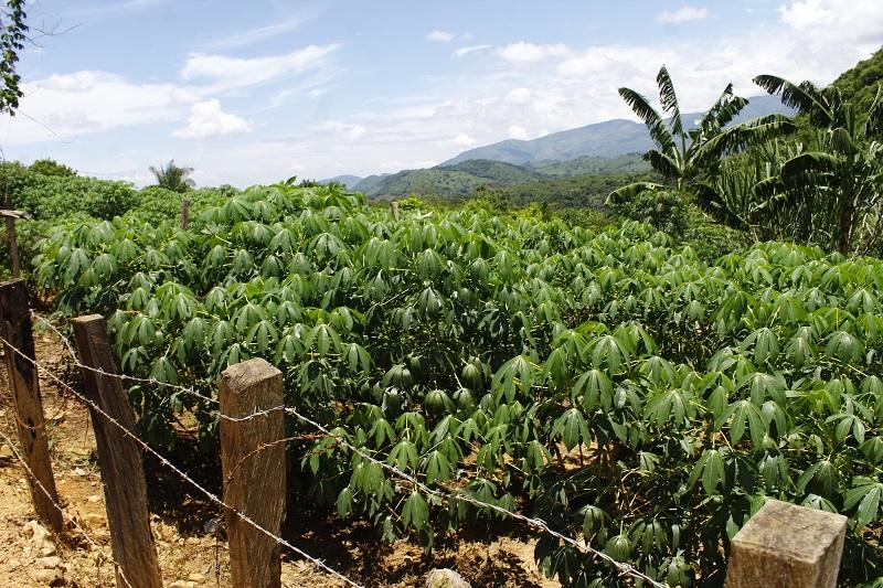 Esta ley, según  Campo Cuello, da un primer paso a la exoneración del impuesto de renta para todas estas inversiones que vayan apuntadas al incremento de la productividad del sector agropecuario.  FOTO/ JOAQUÍN RAMÍREZ