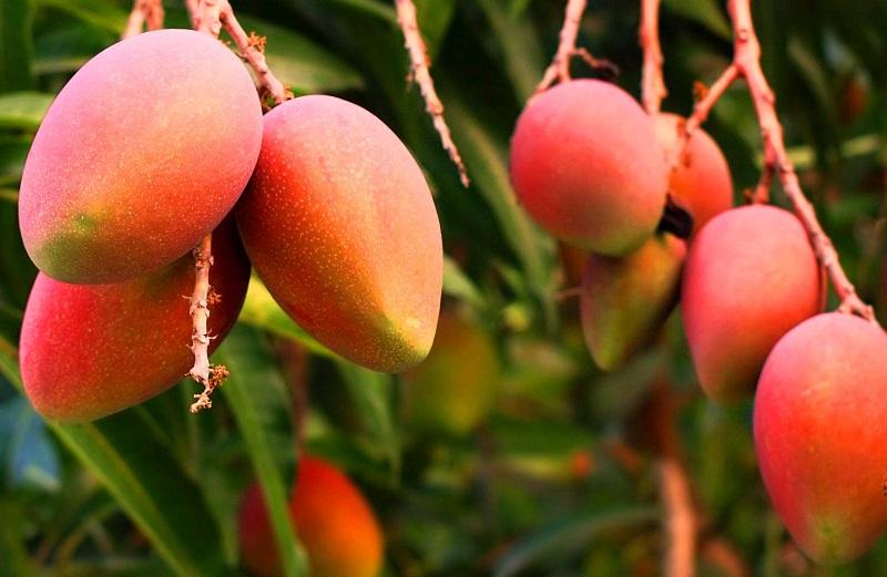 Una finca del corregimiento de Mariangola, jurisdicción de Valledupar está en la ruta para exportar mango a mercado europeo.   IMAGEN DE REFERENCIA.
