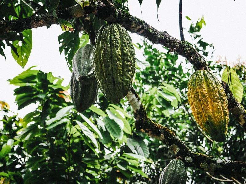 Hoy se hará el lanzamiento de un proyecto denominado 'Agroemprende Cacao', para impactar a  733 familias cacaoteras, renovando 363 hectáreas y sembrando 392 hectáreas nuevas en el departamento.  Archivo/EL PILÓN