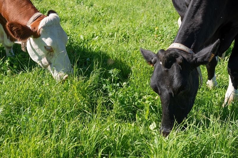 Estos sistemas son aptos para ganado bovino de carne, leche, doble propósito o cría especializada, e igualmente para búfalos, ovinos y cabras.  FOTO/ARCHIVO.