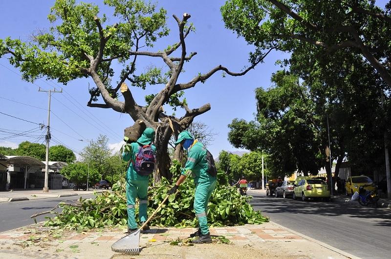 Las plagas y/o parásitos dañan a gran parte de los árboles de Valledupar.  FOTO/ Joaquín Ramírez/EL PILÓN