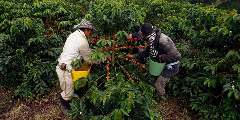 En el Cesar el 75 % de la producción se concentran en cinco municipios: Pueblo Bello, Codazzi, La Paz, La Jagua de Ibirico y Valledupar.   Archivo/EL PILÓN