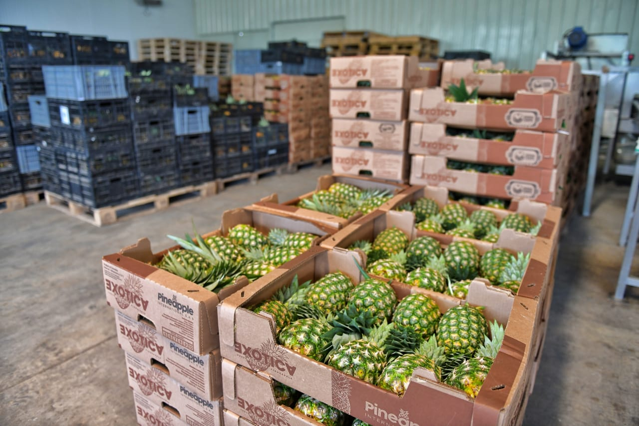 En el corregimiento de Simaña, municipio de La Gloria, existe el proyecto Savannah Crops, que comenzó a enviar 19.000 kilos a Toronto, Canadá. Cortesía/EL PILÓN