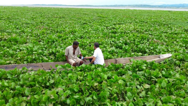 Los pescadores de la ciénaga de La Zapatosa sufren por cuenta de la tarulla puesto que no pueden ejercer la actividad de la que derivan su sustento. Archivo/EL PILÓN