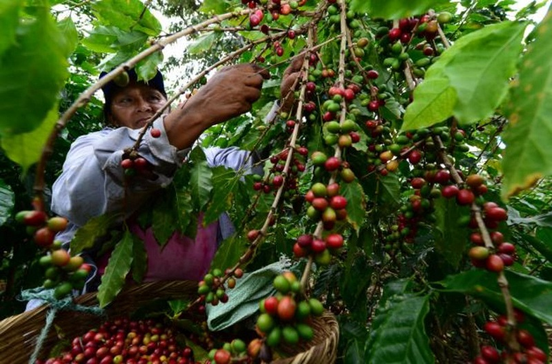 En el Cesar aún se está recolectando café.  FOTO/CORTESÍA.
