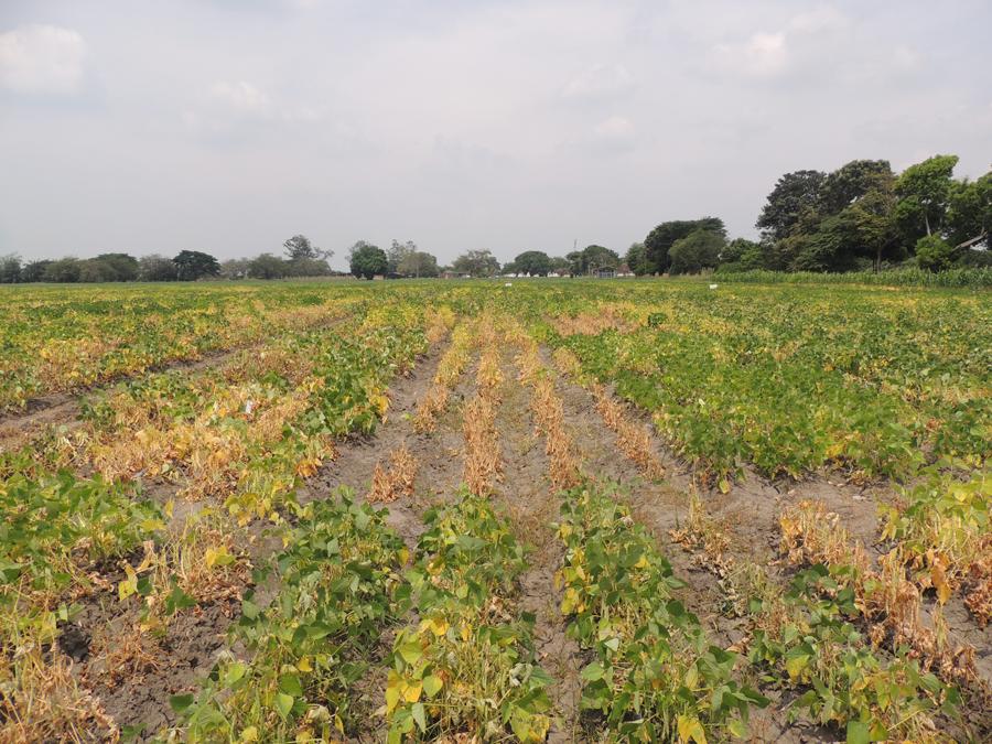 Los cultivos de fríjol están completamente secos.   Imagen de referencia.